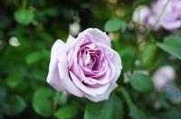 バラ祭1b.jpg