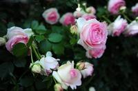 バラ祭1j.jpg