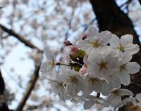 縮ー桜α.jpg