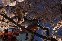 縮-桜.jpg