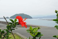 縮-竹が島ハイビスカス.jpg
