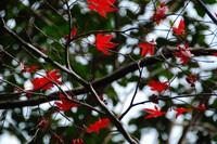 縮-紅葉1.jpg