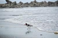 縮-鳥IN小松海岸.jpg