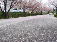 s-桜の絨毯.jpg