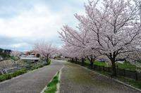 s-桜散る.jpg