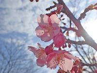 s-透け桜1.jpg