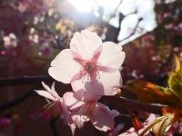 s-透け桜3.jpg